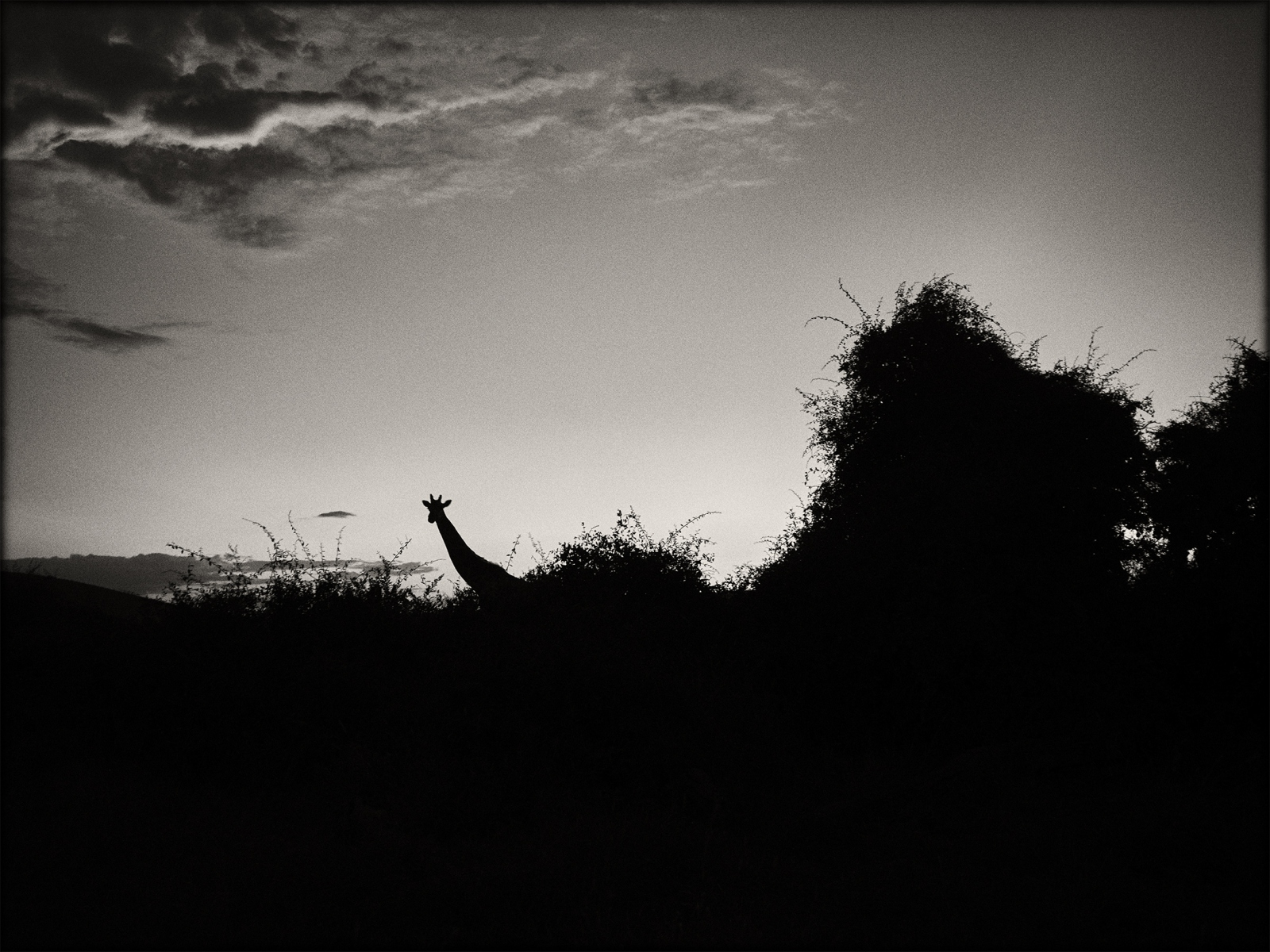 PP-Giraffe-at-sunset-I