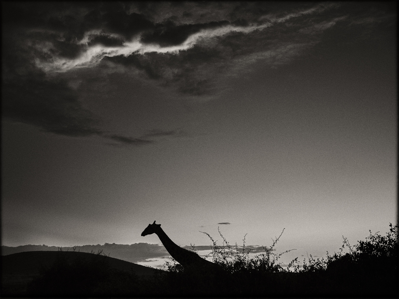PP-Giraffe-at-sunset-II